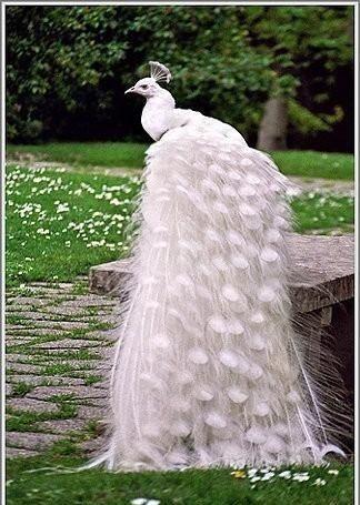 الطاوس الابيض الملكي انه اجمل انواع الطاووس فلا تفوت المشاهده الممتعه Albino Peacock White Peacock Animals