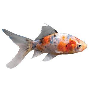 Shubunkin goldfish live fish petsmart office pets for Petsmart fish tanks for sale