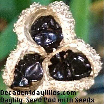 Growing Daylilies From Seed Pods Starting Daylily Seeds Is An Affordable Way To Make A