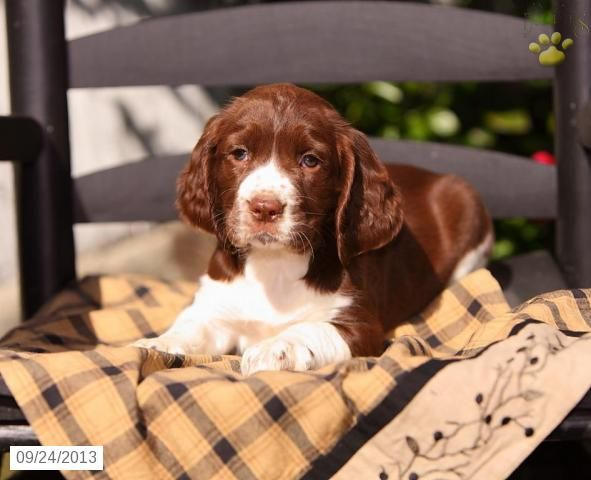 Shelley English Springer Spaniel Puppy For Sale In Paradise Pa English Sp English Springer Spaniel Puppy English Springer Spaniel Springer Spaniel Puppies