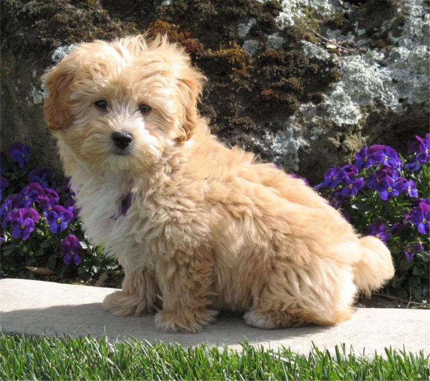 Lhasa Poo Lhasa Apso Poodle Mix Info Temperament Puppies Pictures Dog Breeds Designer Dogs Puppies And Kitties