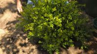 How to Preserve a Boxwood With Glycerin | eHow
