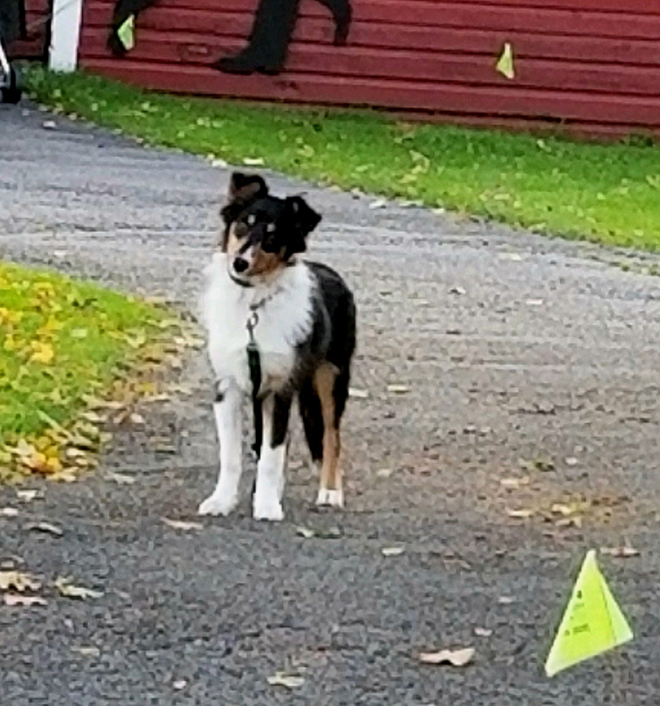 This Is Miss Mia Lee A Sweet And Beautiful Border Collie Chuck