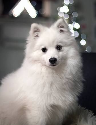 Pin By Chako On White Dogs Pinterest Japanese Spitz Dog And Animal