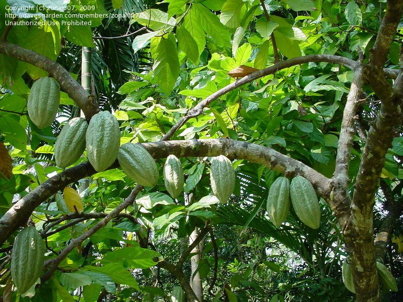 Full size picture of cocoa tree cacao itheobroma cacaoi full size picture of cocoa tree cacao itheobroma sciox Image collections