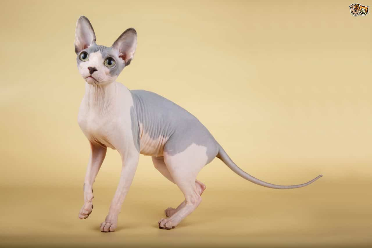 Owning A Sphynx Cat Full Of Mischief Sphynx Is A Born Entertainer In 2020 Baby Hairless Cat Hairless Cat Rare Cat Breeds