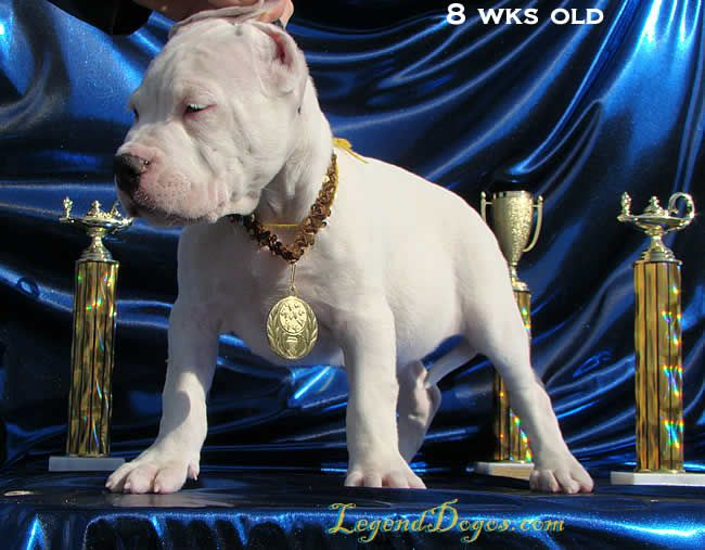 Dogo Argentino Puppies For Sale Argentine Dogo Puppies For Sale