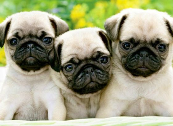 Puggy in the middle pugs pinterest puggy in the middle thecheapjerseys Image collections