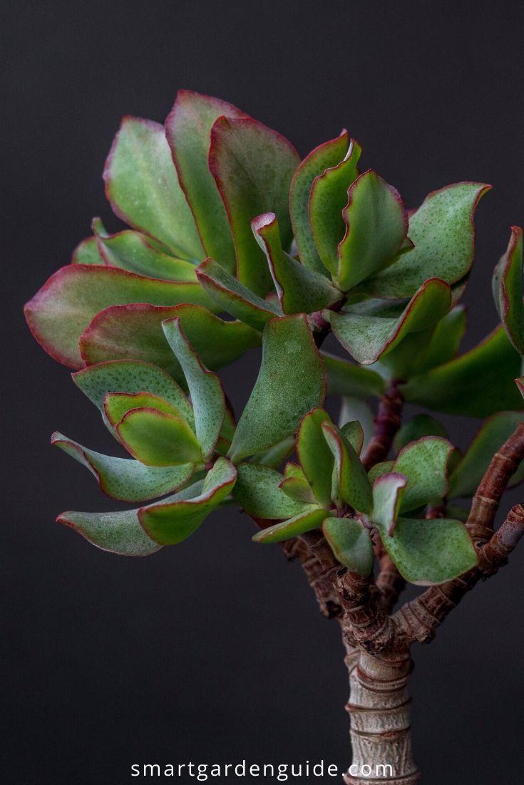 How to prune a jade plant crassula ovata smart garden