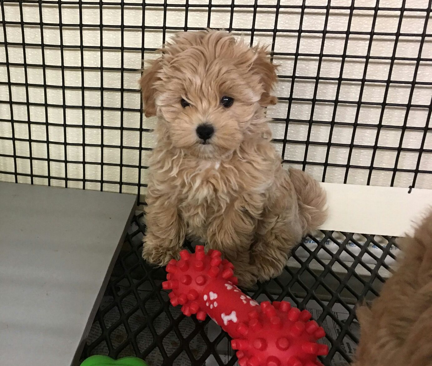 Designer And Mix Puppies Morkies Maltipoos Red Maltipoos Yorkshire Terrier Shih Tzu Havanese Toy And Teacup Poodles French Yorkie Poo Shih Poo Puppies