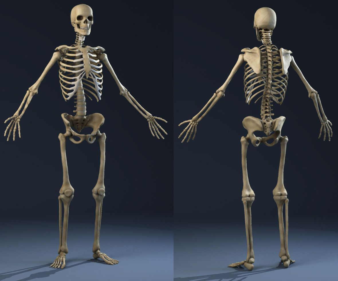 3d Realistic Skeleton Anatomy Male Man Model Surface Anatomy