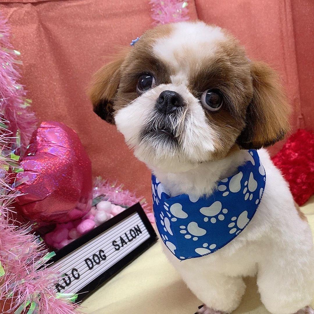 こんにちは 空港ドッグセンター寝屋川店です 本日シャンプーカットコースでご来店のシーズーのソラくんです いつもよりふんわりめに残し さらに可愛くなりましたね お飾りのバンダナも購入いただきましたとても似合ってて可愛 Pets Dogs Animals