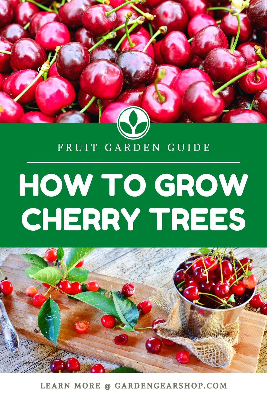 How To Grow Cherry Trees How To Grow Cherries Growing Cherry Trees Planting Cherry Trees