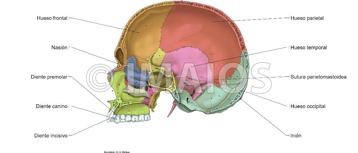 Cavidad craneal - Suturas del cráneo | anatomia | Pinterest ...