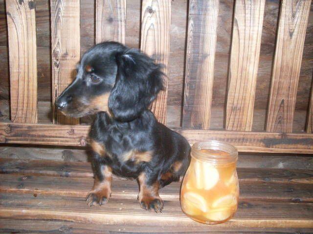 Tiny Toy Dachshund Puppies Tiny Miniature Dachshund Rescue Dog