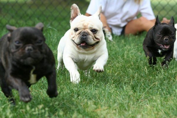 Everybody Jump Jump Happy French Bulldogs Tiere