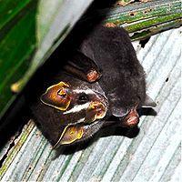Morcego – Wikipédia, a enciclopédia livre