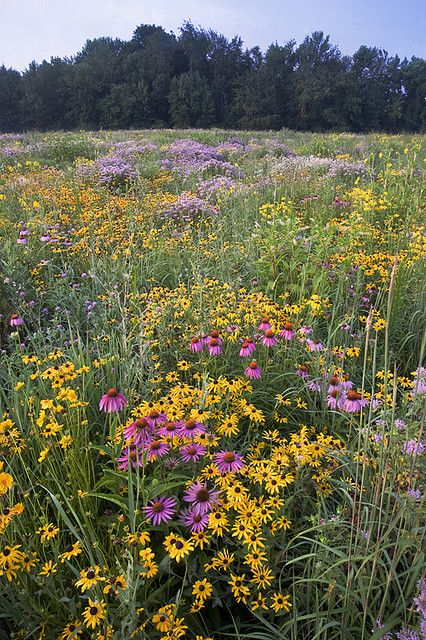 Summer Flowers Wild Flowers Wild Flower Meadow Prairie Flower