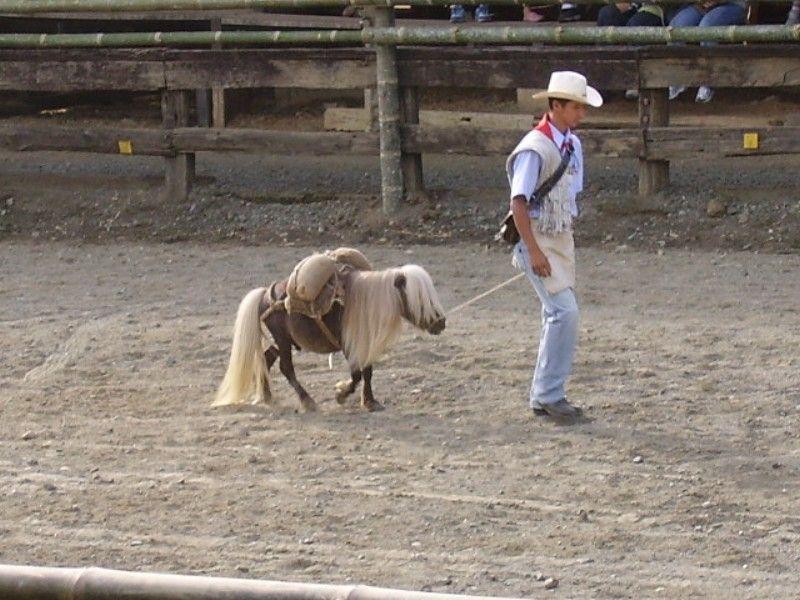 poney nain falabella