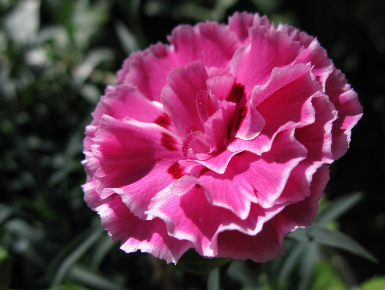 Carnation Dianthus Caryophyllus Native To Southern Europe Used In Medieval Arabic Perfumery As Well As During The Tudor Times O Flowers Carnations Plants