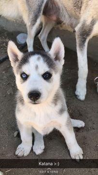 Alaskan Husky Puppy For Sale In Bakersfield Ca Adn 31541 On