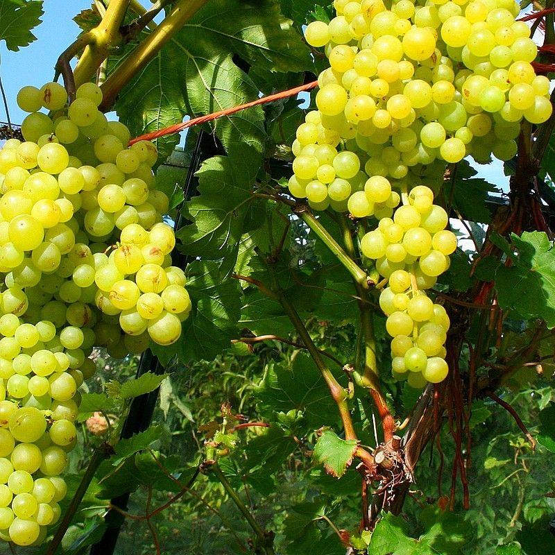 Vitis 39 perlette 39 vigne de table grimpante raisin sans - Taille vigne raisin de table ...