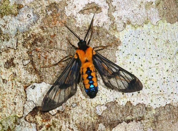 Cosmosoma sectinota ( Arctiidae : Ctenuchinae )