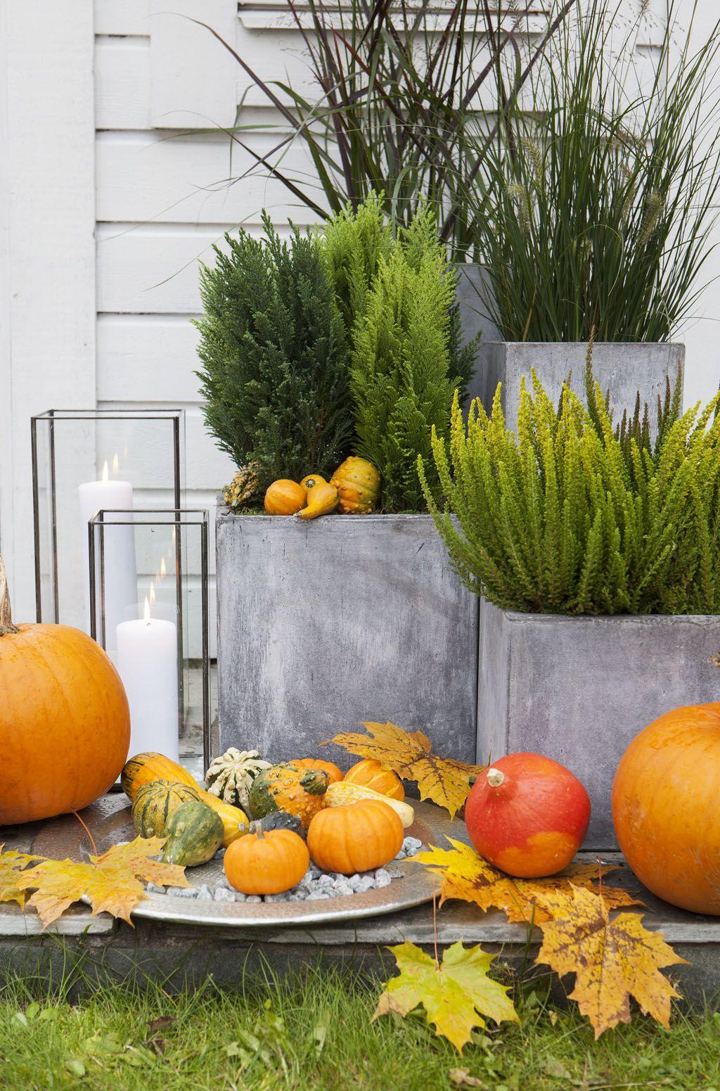 Gresskar kombinert med vintergrønne planter gir en fargerik høststemning.