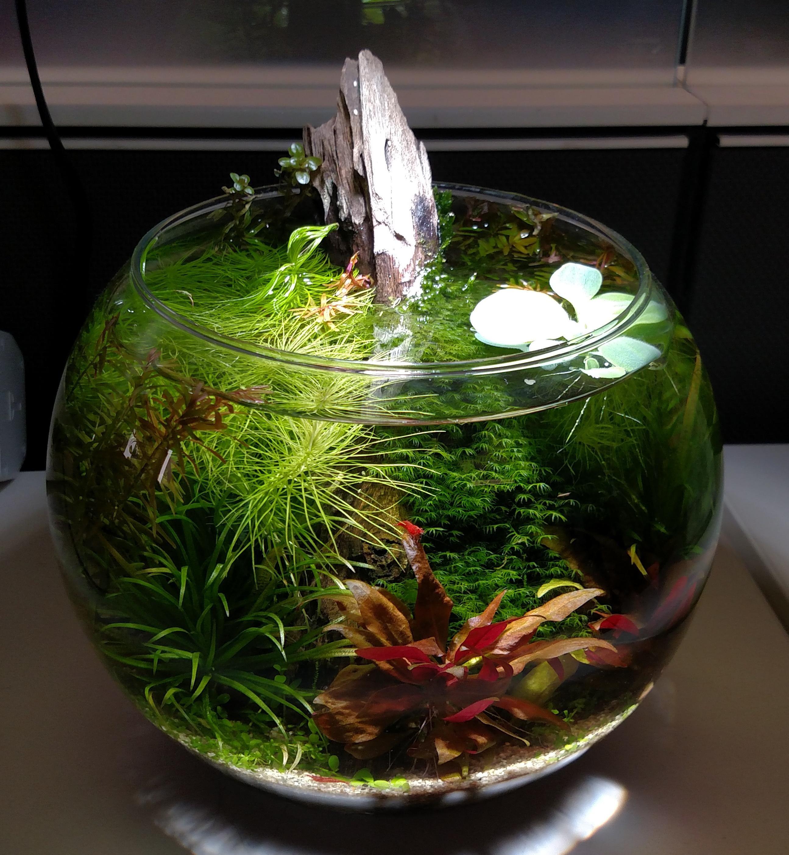 Flora rotala hra pogostemon erectus blyxa japonica for Fish bowl aquarium