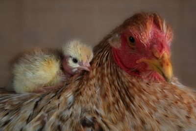 Pin On Chickie Chicks
