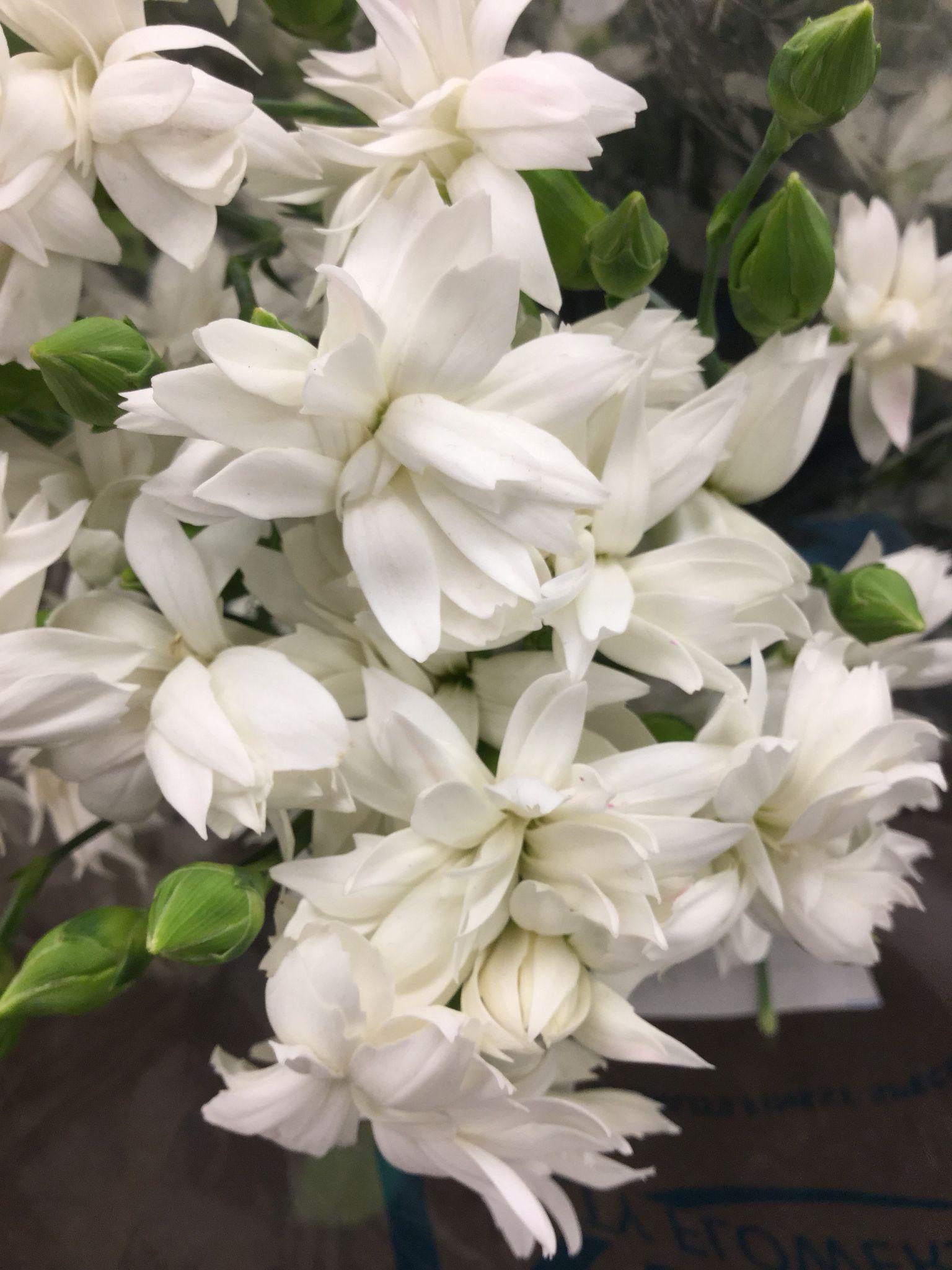 Japanese Mini Carnation Star Snow Mini Carnations Carnations White Carnation
