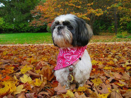 Autumn In Ct Shih Tzu Dog Shih Tzu Shih Tzu Puppy