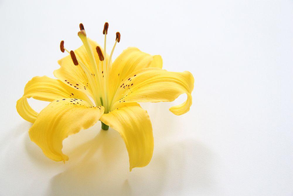 lily  (mary jo hoffman)