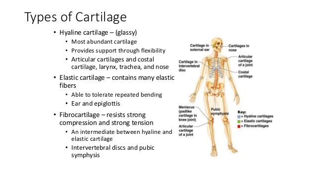 Articular Cartilage Is A Specialized Form Of Hyaline Cartilage