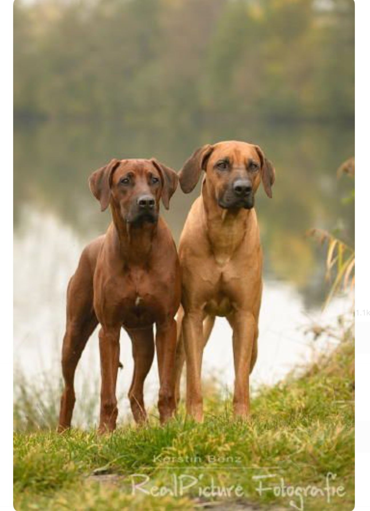 Handsome Pair Of Rhodesian Ridgeback Hounds Red And Wheaten Rhodesian Ridgeback Dog Vizsla Dogs Rhodesian Ridgeback