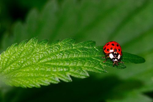 Flickr Search: Ladybug