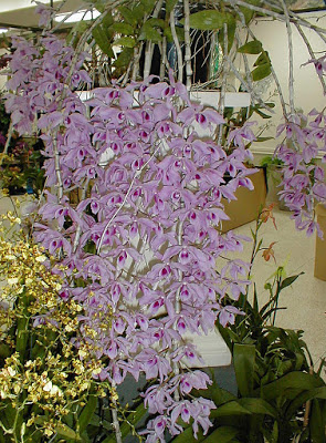 Dendrobium Anosmum Care And Culture Orchids Growing Orchids Flower Bud