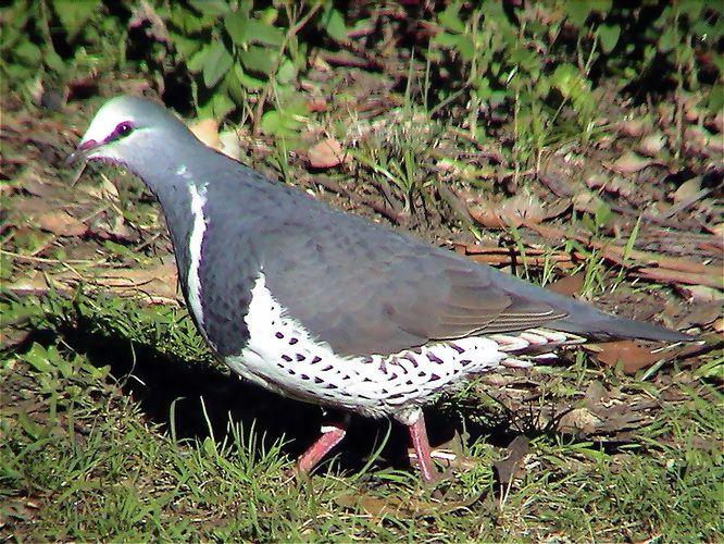 The Wonga Pigeon Leucosarcia melanoleuca is a large pigeon that inhabits areas in eastern Australia.