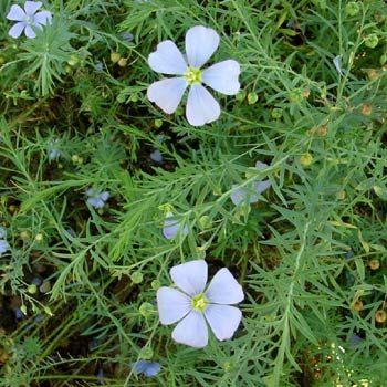 perennial blue flax