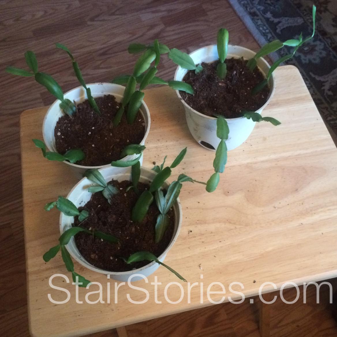 Propagate Christmas Cactus.How To Propagate Christmas Cactus Christmas Cactus