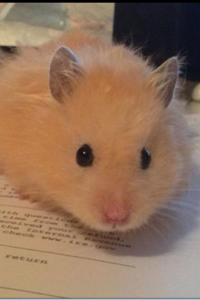 Charlie Long Haired Teddy Bear Hamster So Cute He Should Be In A Commercial Bear Hamster Hamster Hamsters As Pets