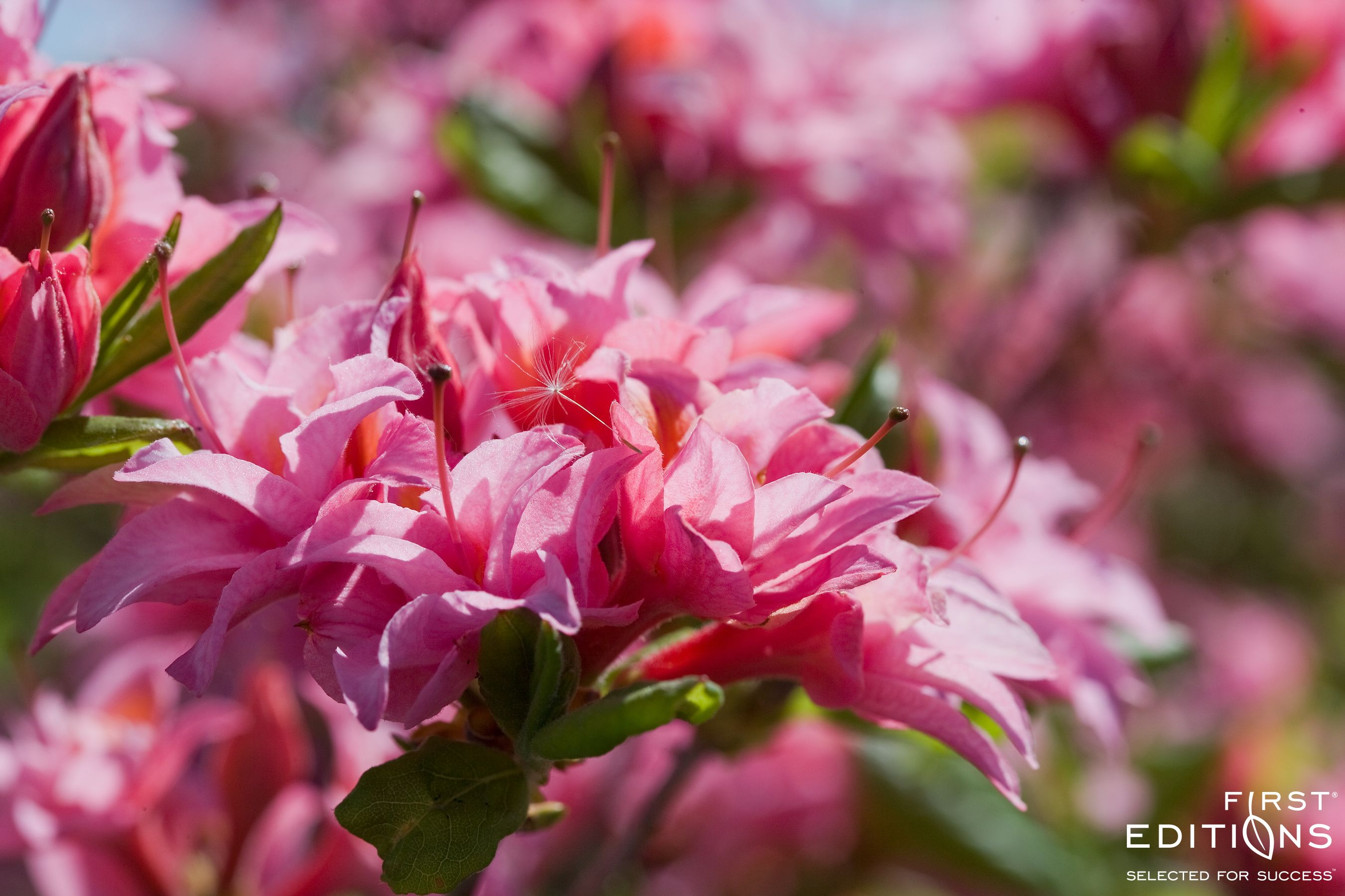 Electric Lights Double Pink Azalea Is The First Pink Double Flowering Azalea On The Market That Is Hardy To Zone 4 The F Pink Azaleas Plants Fragrant Flowers