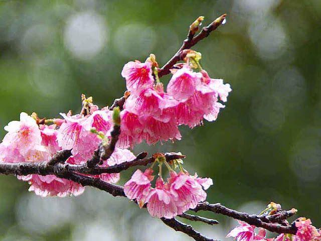 Rain Can T Stop Cherry Blossom Lovers Blossom Cherry Blossom Rain