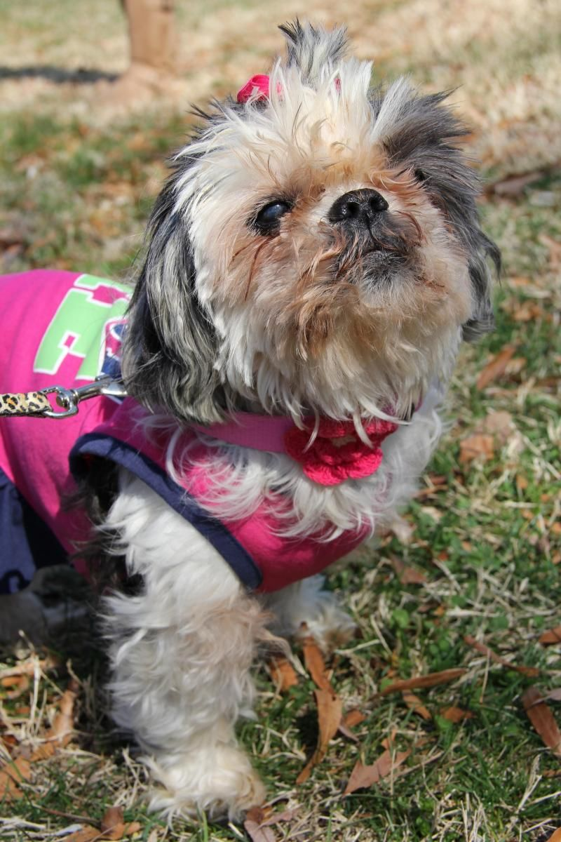 Adopt Gertie on Shih tzu, Animals, Animal rescue