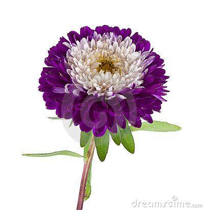 Single Violet Flower Of Aster On White Background Stock