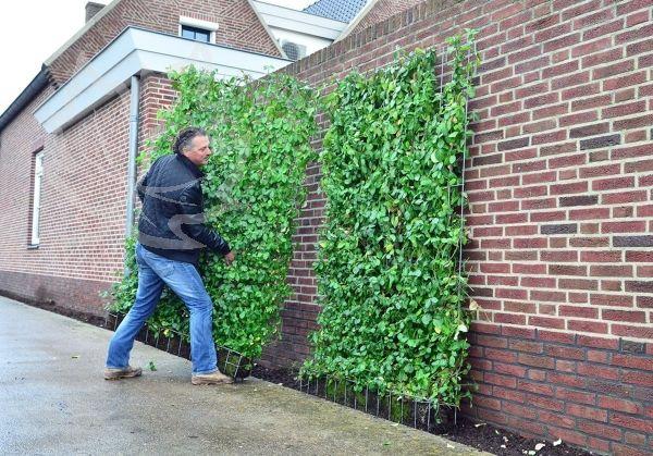 Euonymus 180 x 120 cm Sichtschutz garten, Garten und