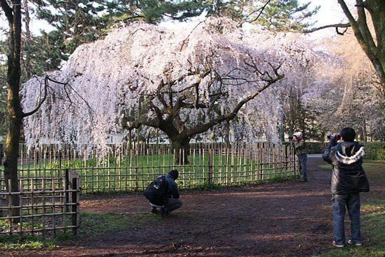 Weeping Cherry Tree 3 4ft Prunus X Yedoensis Shidare Etsy In 2021 Weeping Cherry Tree Yoshino Cherry Tree Yoshino Cherry