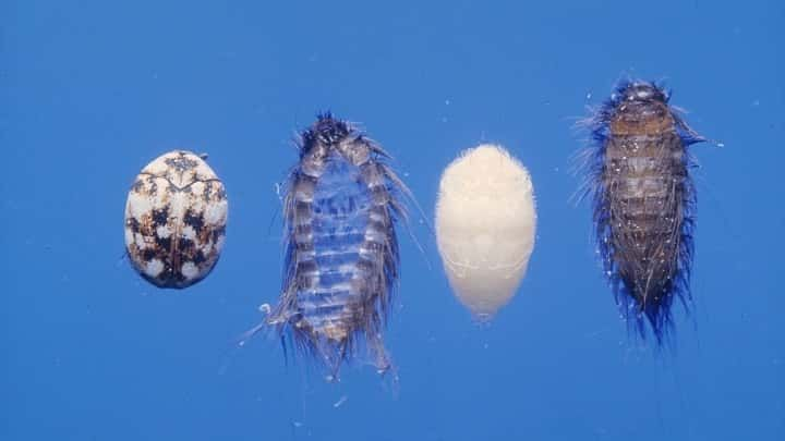 Pin on Carpet Beetles