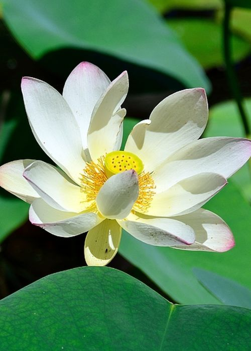 Lotus flower greeting card for sale by kevin johnson rapuano lotus lotus flower greeting card for sale by kevin johnson rapuano mightylinksfo