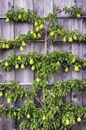 Spalierobst Gerüst Selber Bauen : bildergebnis f r spalierobst ger st selber bauen garten theresia espalier fruit trees ~ Eleganceandgraceweddings.com Haus und Dekorationen
